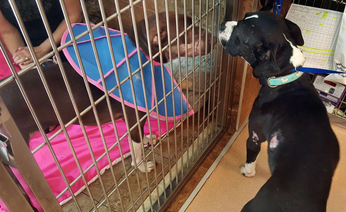 Injured dogs Caitlyn, Louis sniff each other out