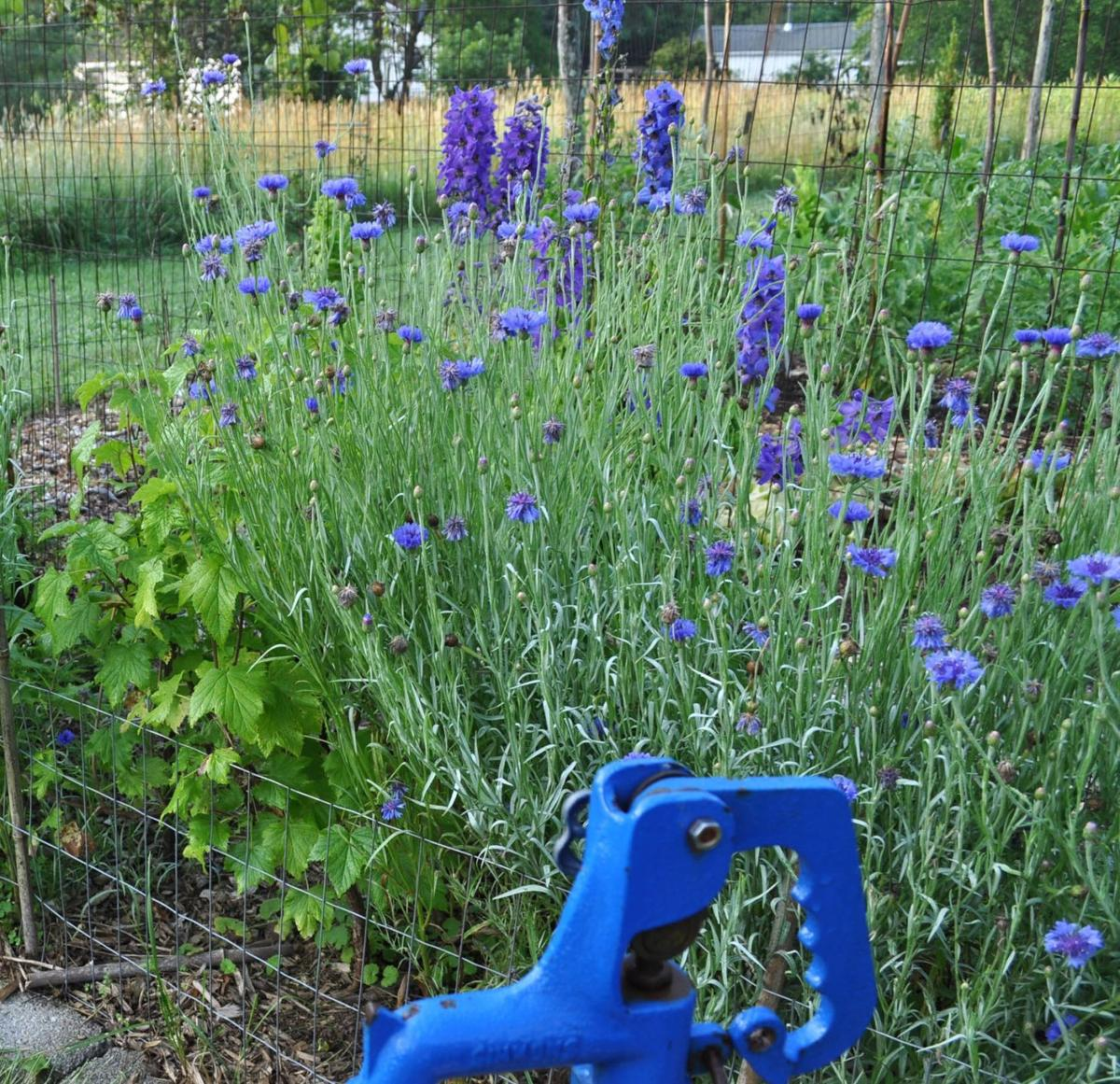 Delphiniums are a worthwhile challenge