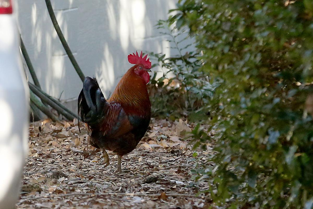 james island roosters can crow to their heart u0027s content on johns