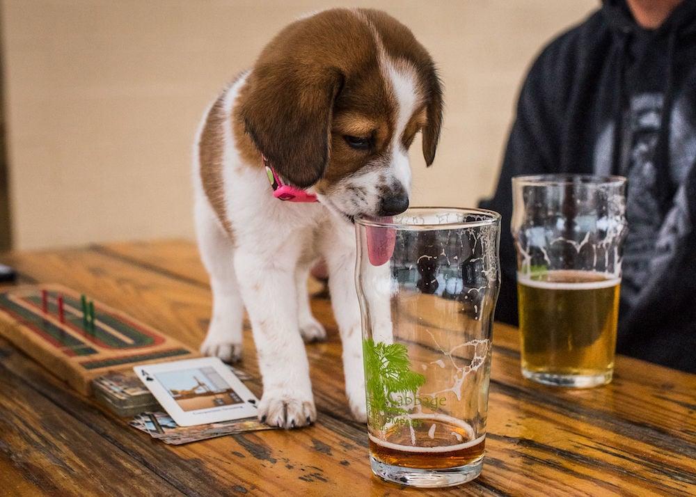 Dog licking beer (copy)