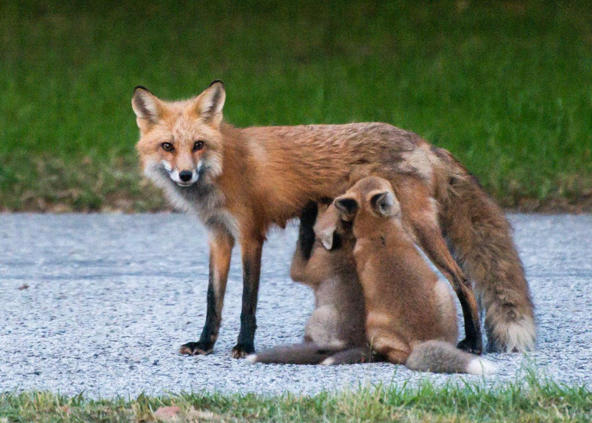 Well Read Foxes Stealing Newspapers In Mount Pleasant Neighborhood News Postandcourier Com