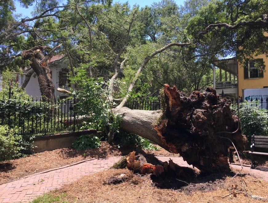 Fallen oak tree at College of Charleston closes George Street
