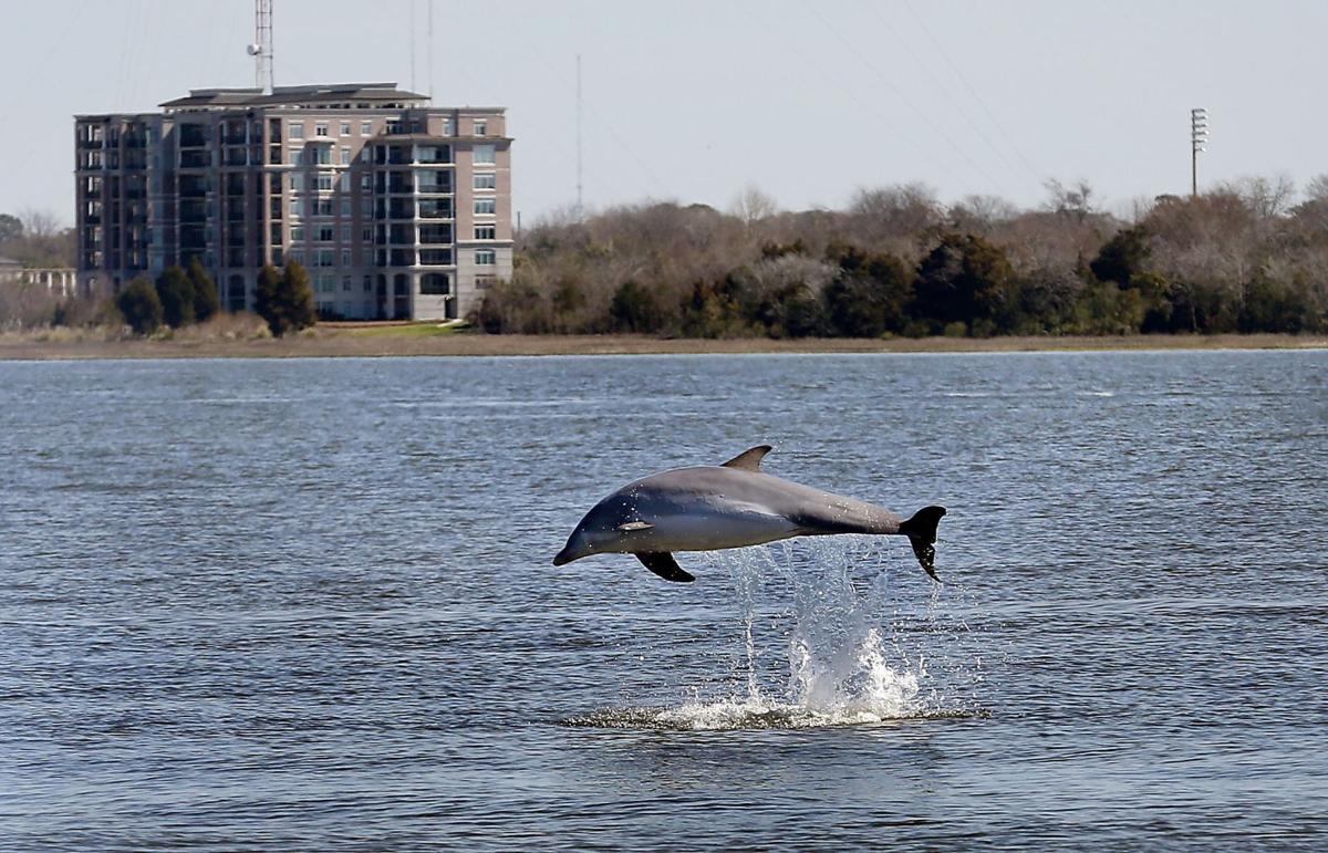 Dolphin killer virus declining