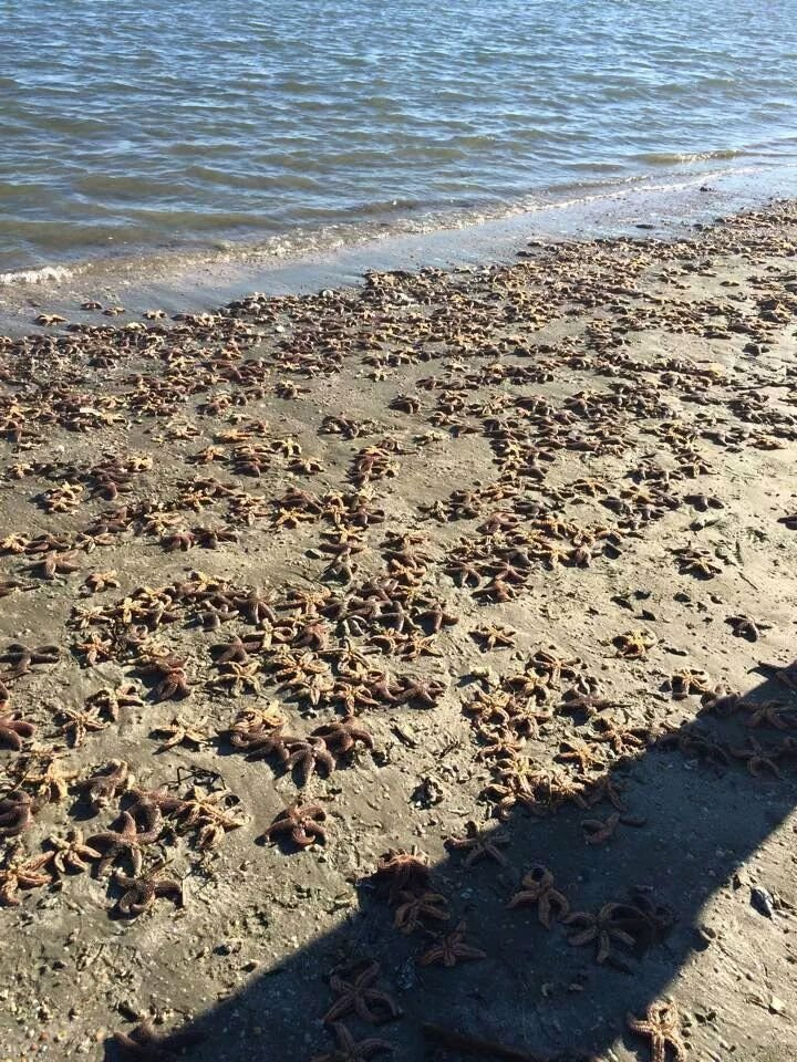 Starstruck: A beach littered with stranded starfish is work of the winds, tide