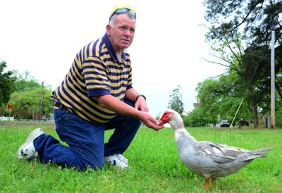 Town takes care of lucky ducks