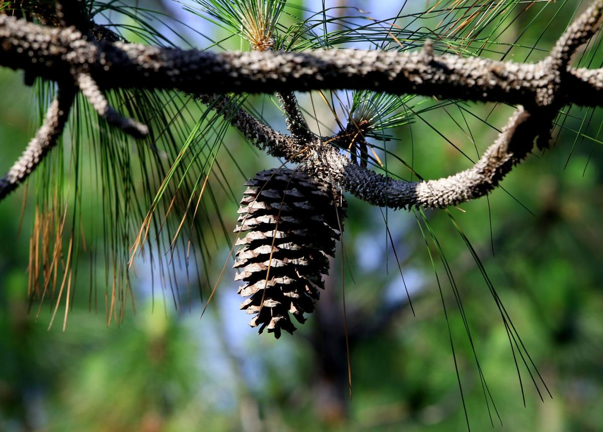 Return of the longleaf Forest restoration of the 'heart pine' underway across Southeast 'Heart' of the longleaf asdfsd fasdf The longleaf partners