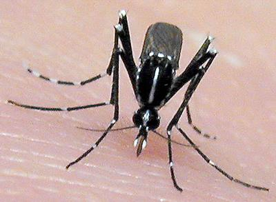 Severe mosquito virus might be only a hop away
