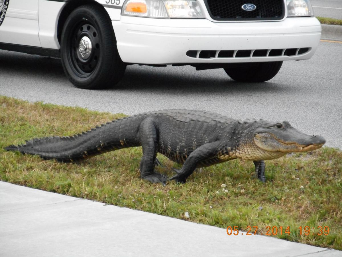 Police release captured Tanger gator