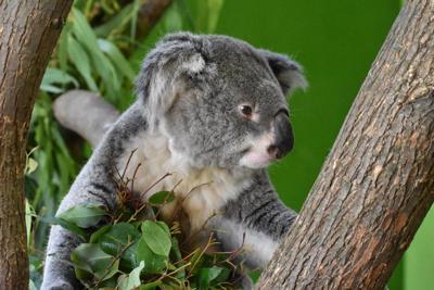 Koala at Riverbanks Zoo