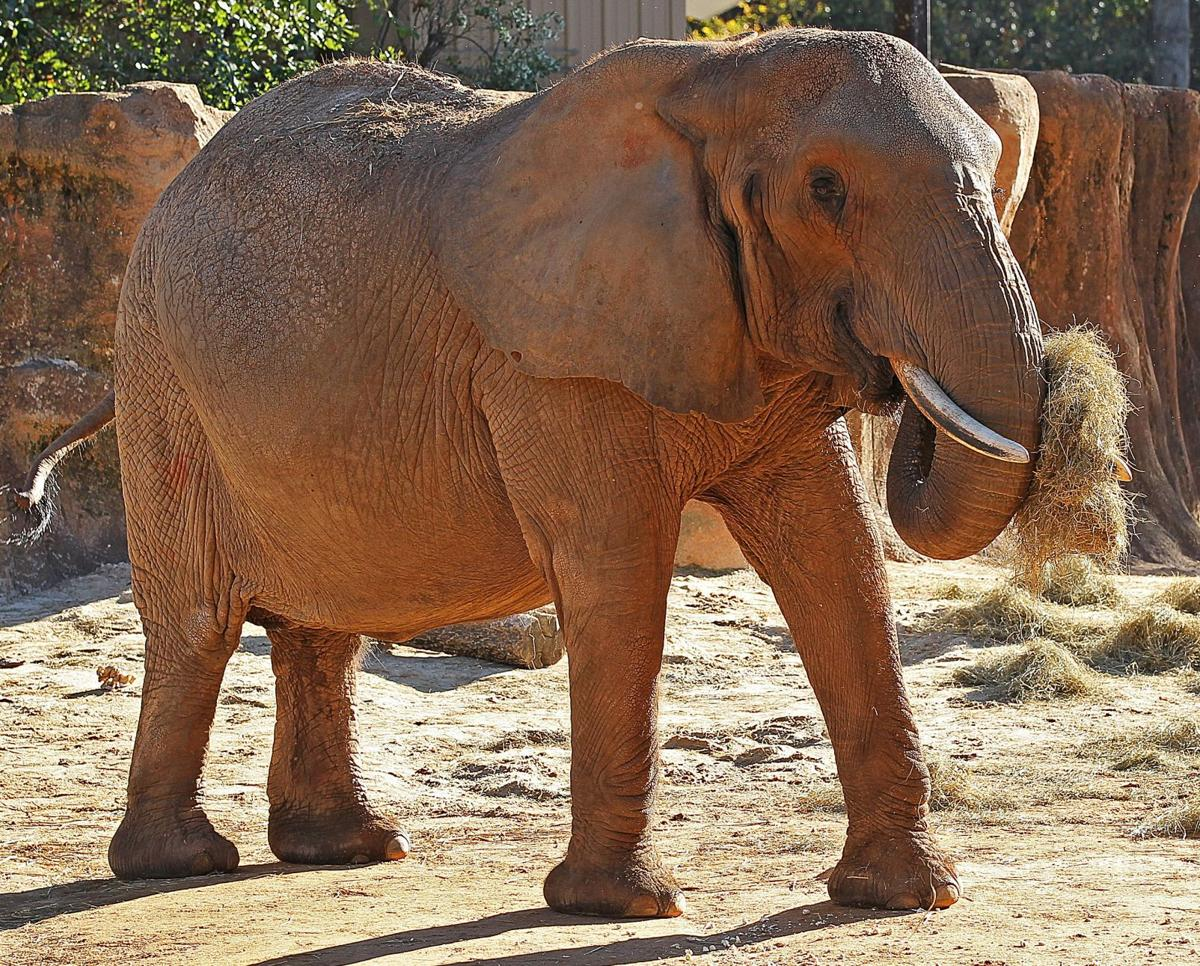 Riverbanks Zoo in Columbia hoping to replace elephant who died this ...