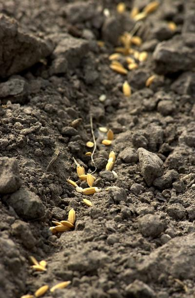 Middleton Place invites visitors to help plant rice