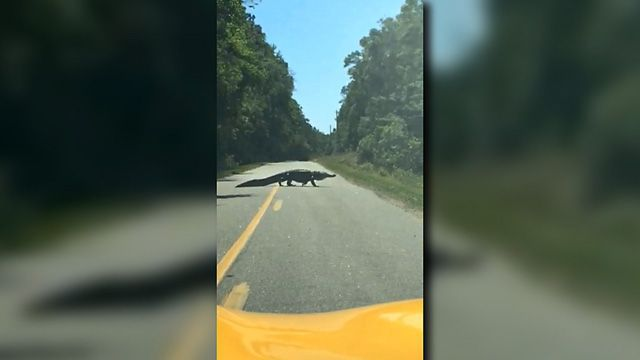 Rep. Wendell Gilliard gets close up alligator video
