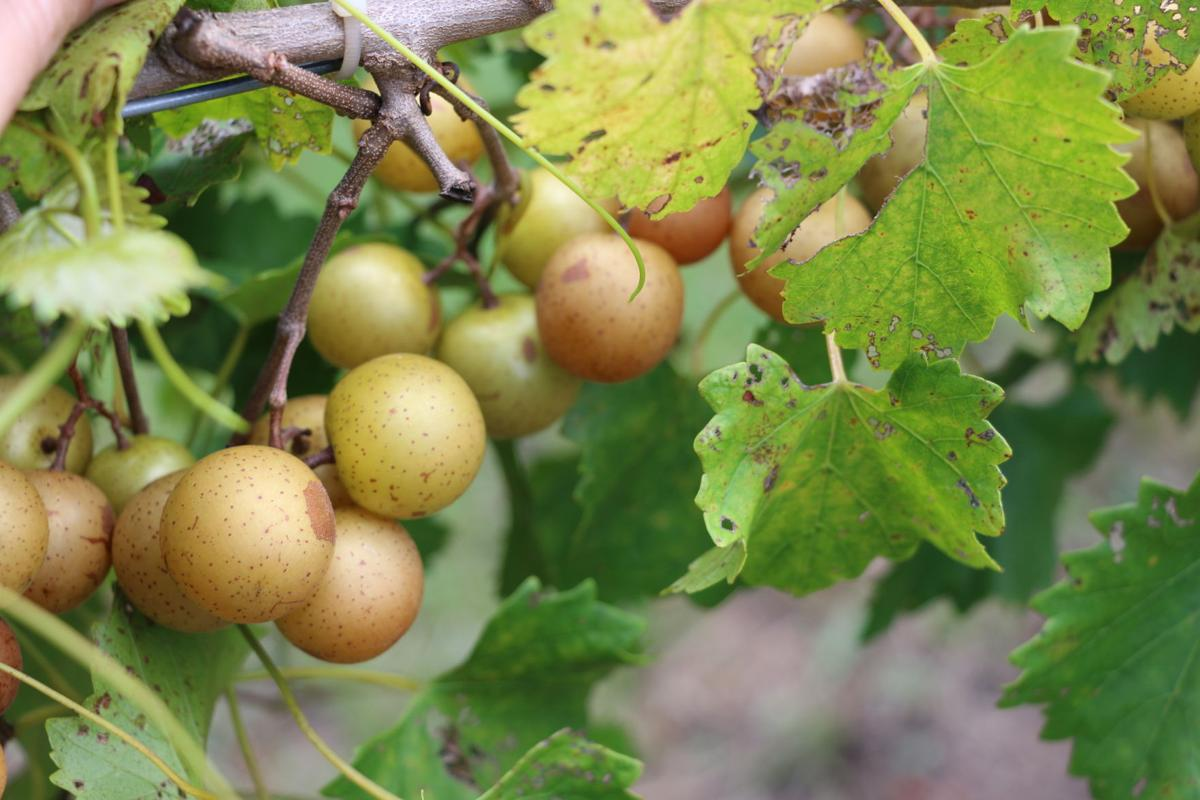 """muscadine black personals Muscadine jelly recipe  southern grapes have been grown by various members of my family dating back to as far as we date back  scuppernongs, which they pronounced """"skuppa-nahns"""" are."""