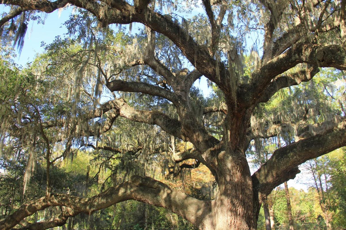 Live oaks, garden can be at peace