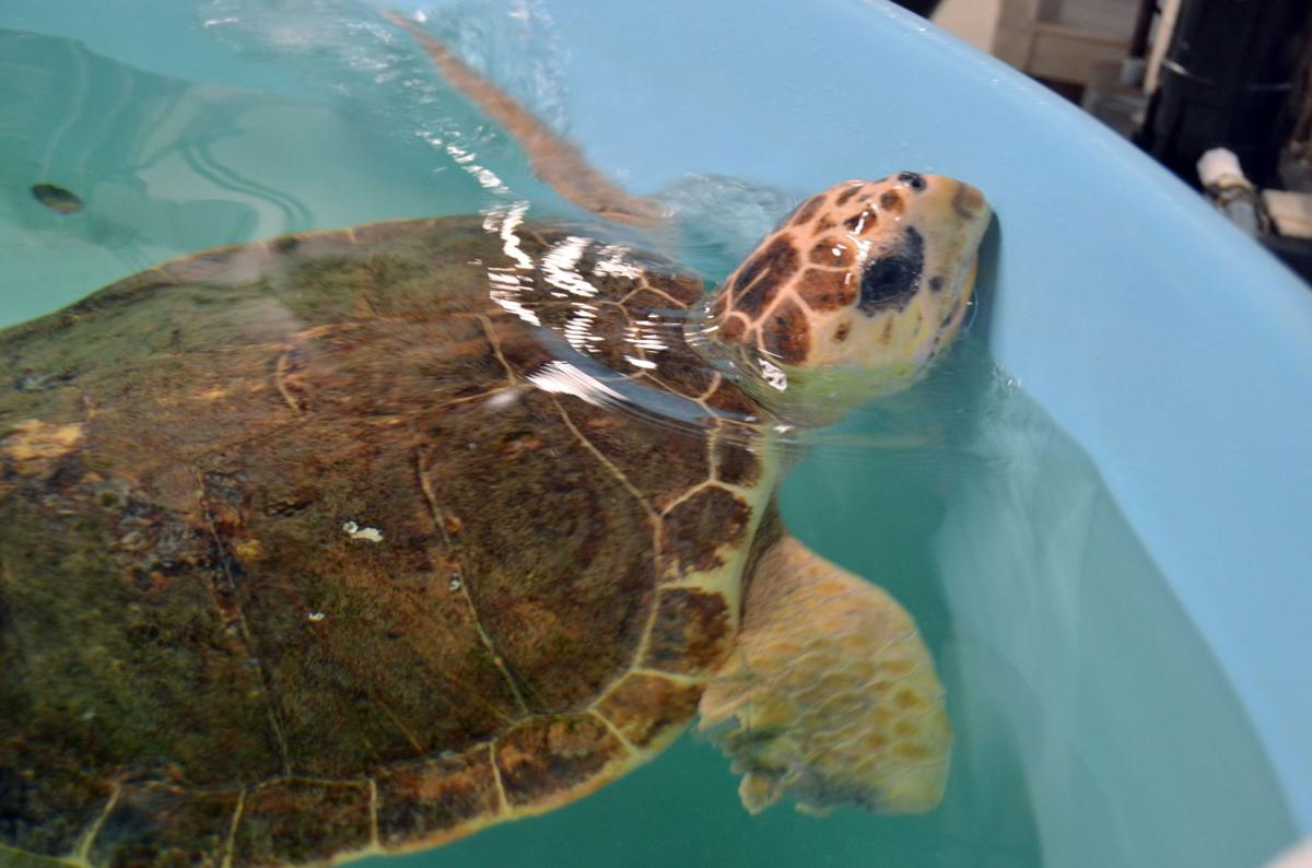 Loggerhead saved from plastic diet among turtles being released