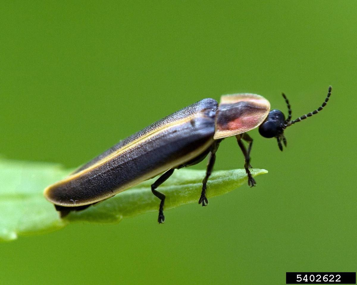 Clemson's annual firefly count starts this weekend