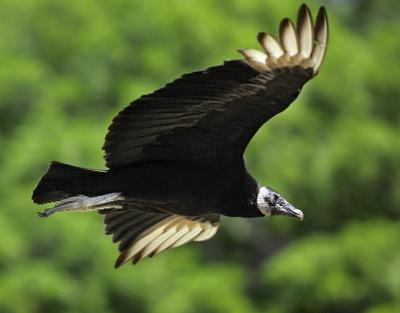 Vulture Awareness Day aims to change perceptions