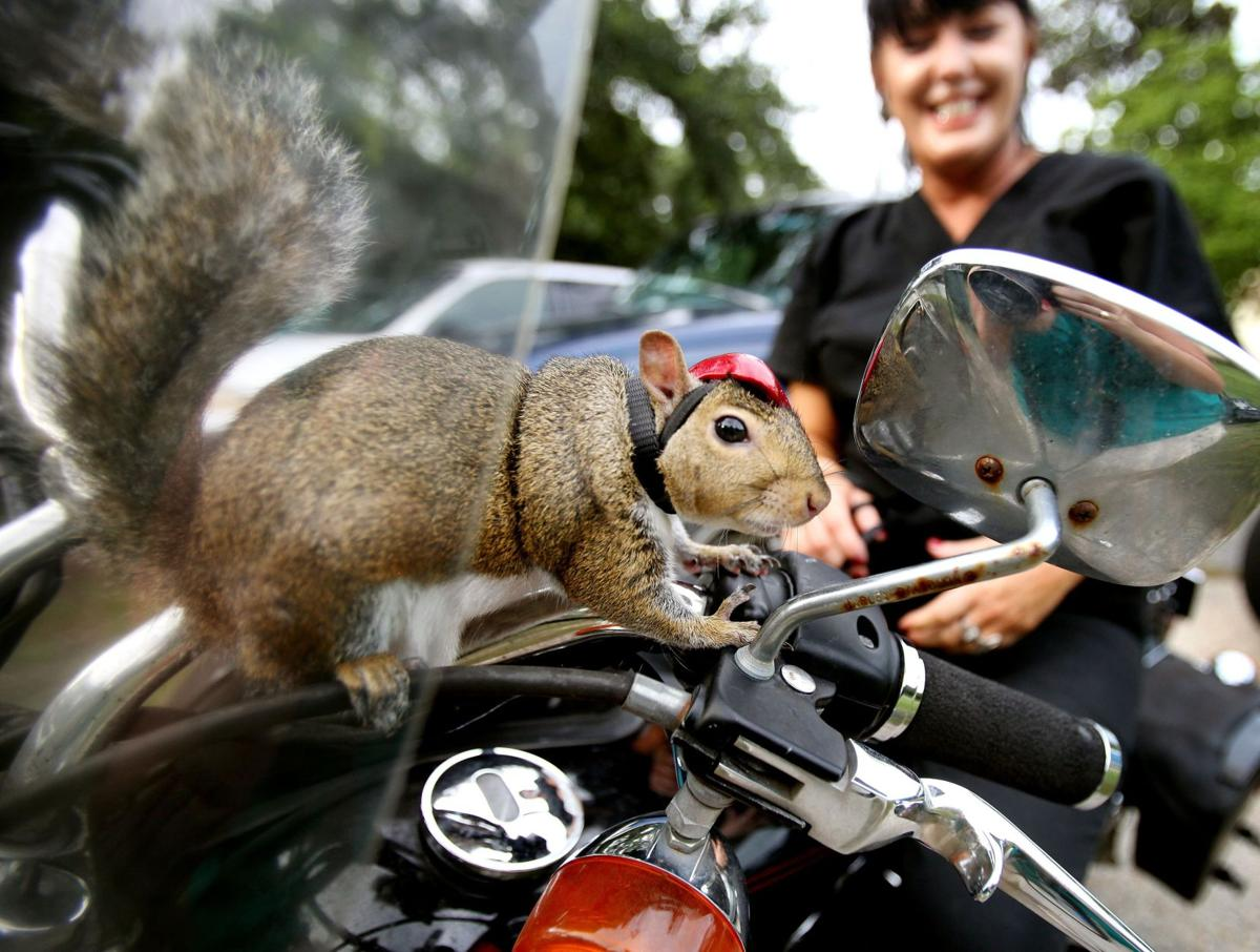 Zipper: The bar-fighting, motorcycle-riding squirrel