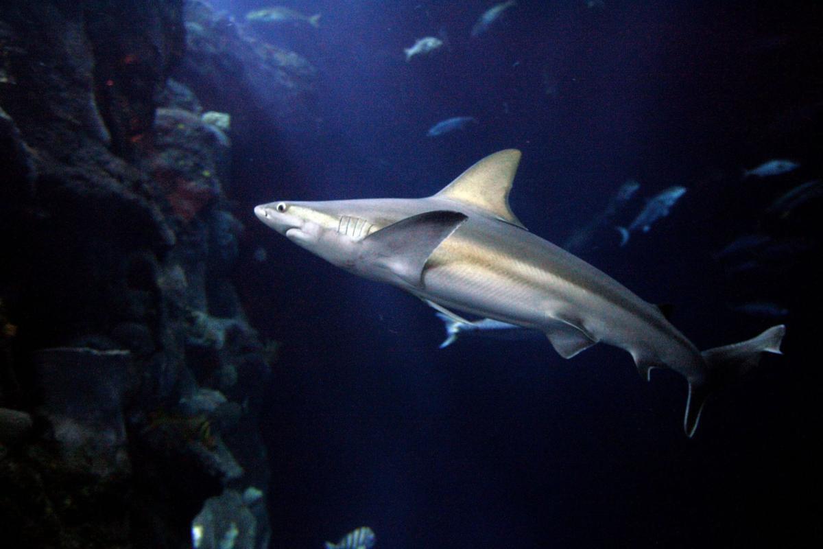 South Carolina Aquarium's Shark Week starts Aug. 8