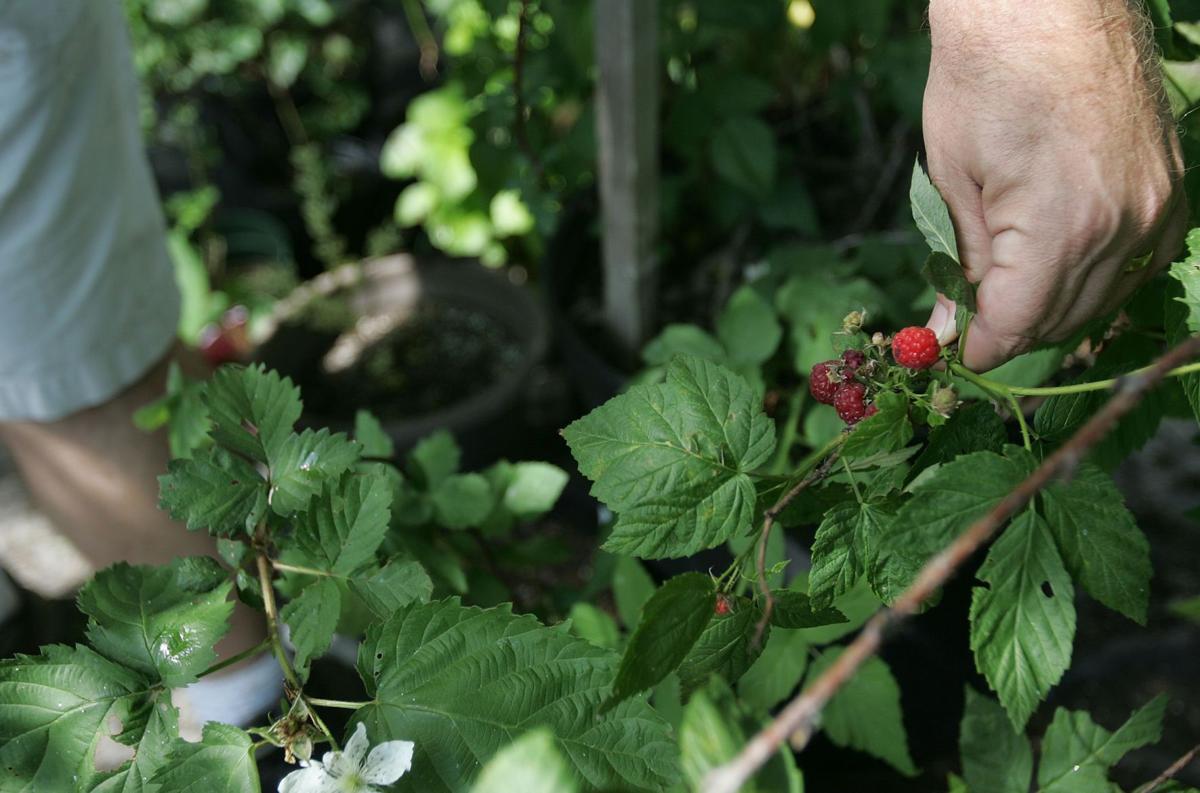 aberrygood idea Home gardeners grow backyard fruit for big benefits