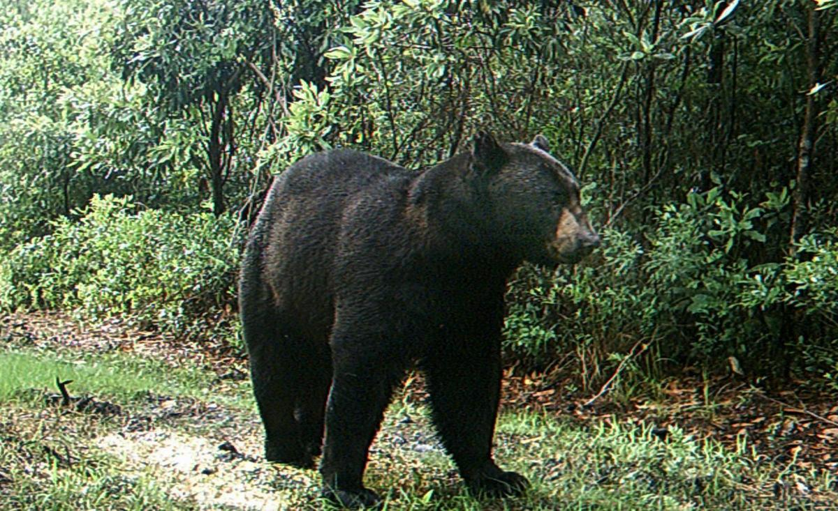 Horry County won't have to bow to bears for road, court rules