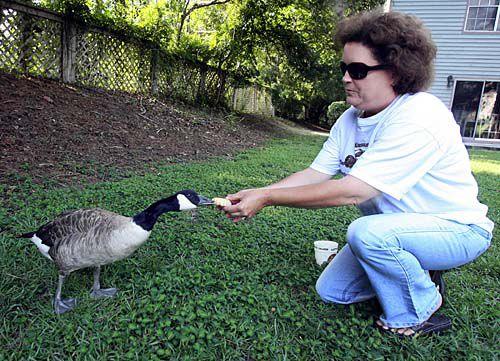Neighborhood geese taken away to be killed