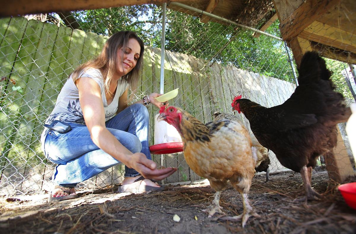 Chickens back on council's plate