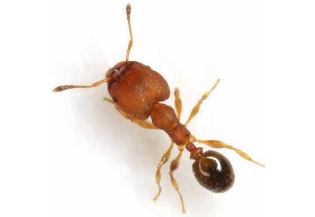 Big-headed ant intercepted at Port of Charleston