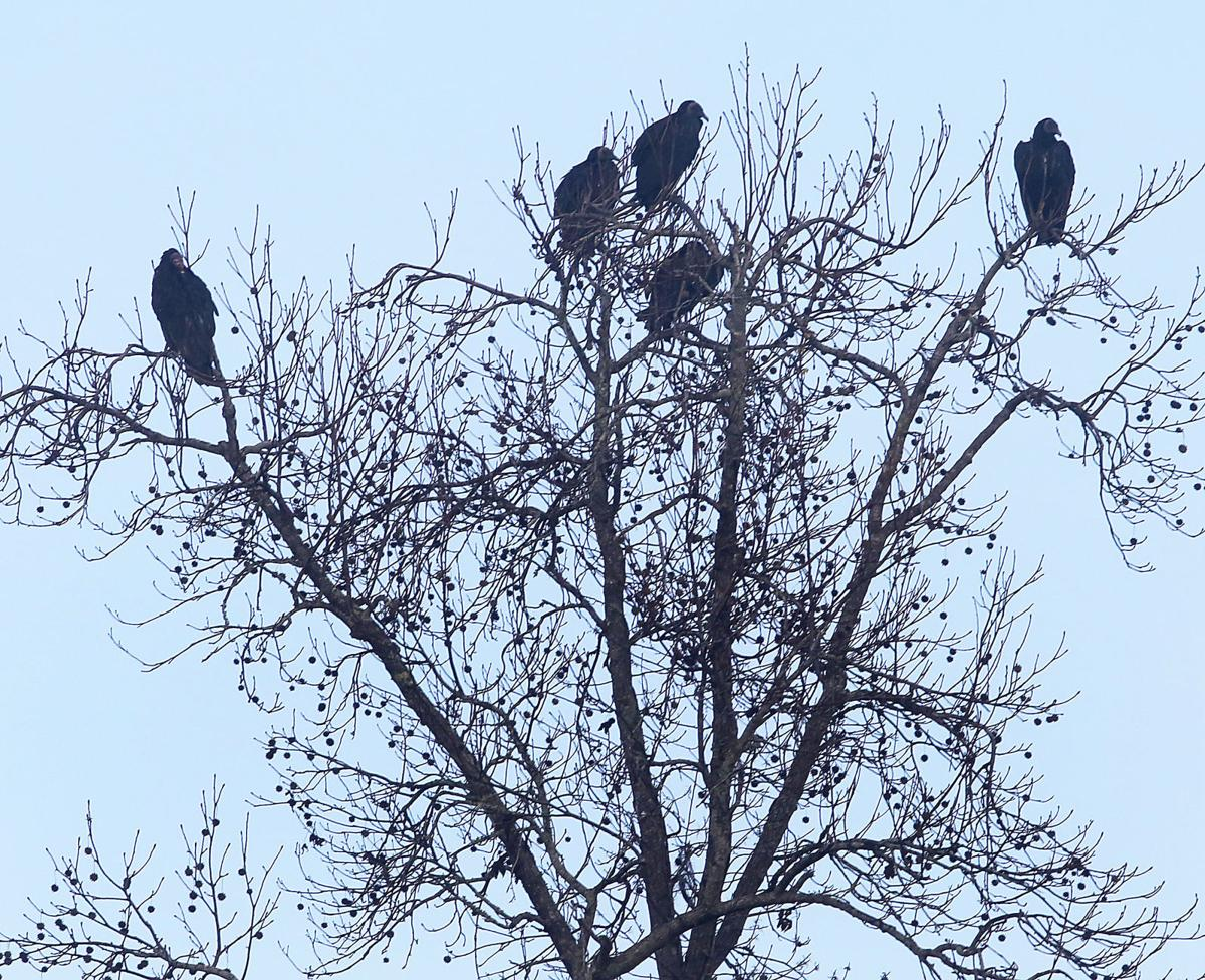 Dead vultures hanging in trees used to ward off live