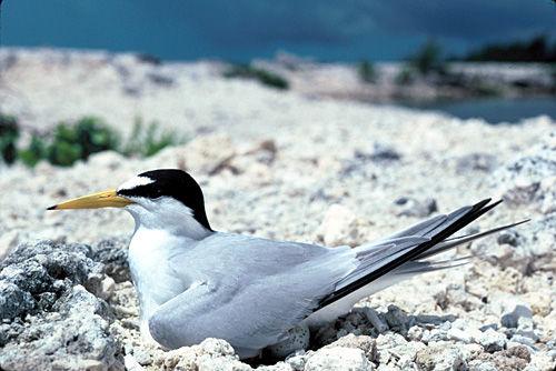 Least terns seek rooftop refuges