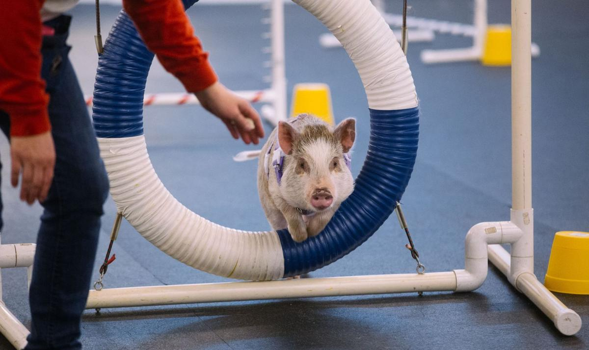 Pig excels in dog agility class