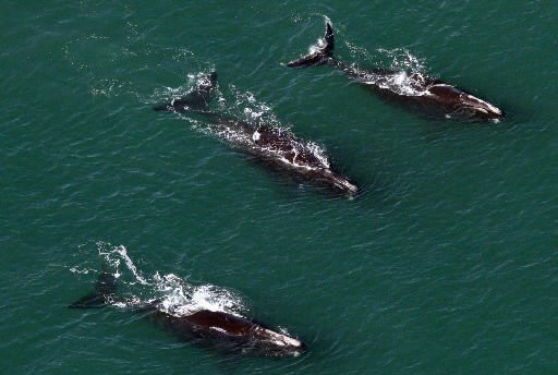 Right whale guardians may be endangered