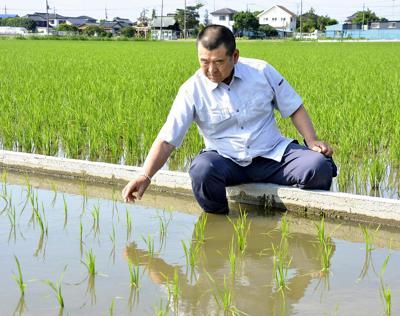 In Japan, heat-resistant rice varieties becoming more common