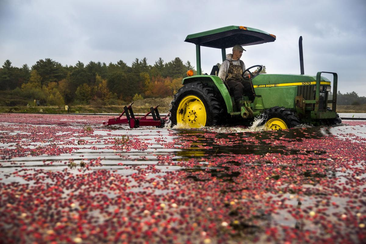 Climate change is complicating a Thanksgiving staple: cranberries