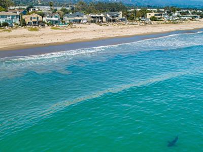 The great white shark next door