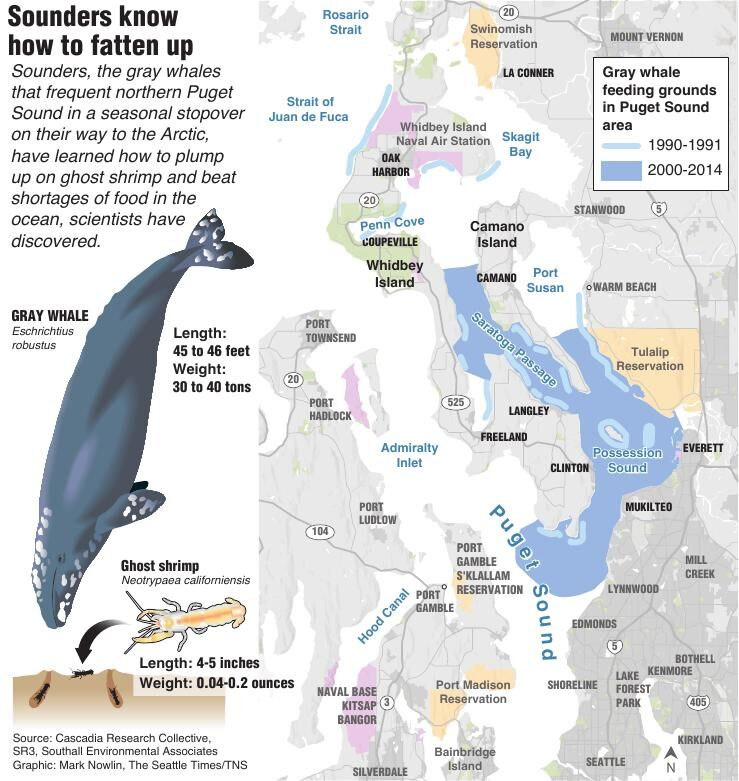 Digging for ghost shrimp at high tide: Gray whales learn daring feeding strategy in Puget Sound