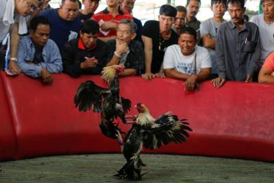Animal rights groups ID Guam as shipping port for cockfighting birds