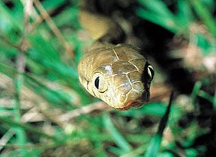 Study: Snakes' unique climbing tactic contributes to outages, birds' demise