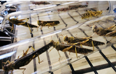 East Africa turns locusts into delicacy to battle wave of parasites