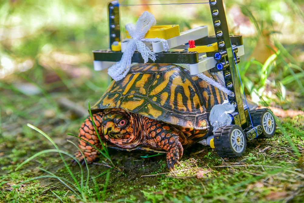 Turtle that used Lego wheelchair to heal is released in Maryland