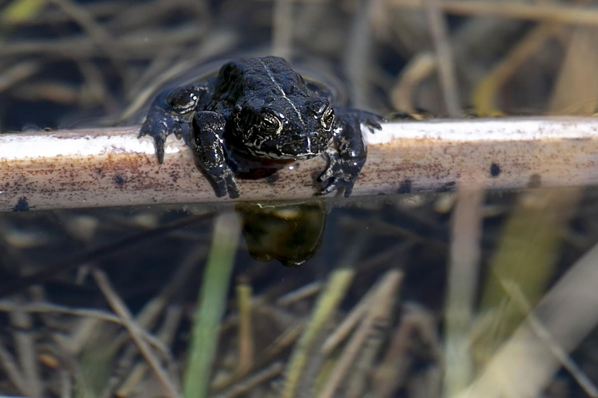 When rare California toads get thirsty for love, this tiny college helps set the mood