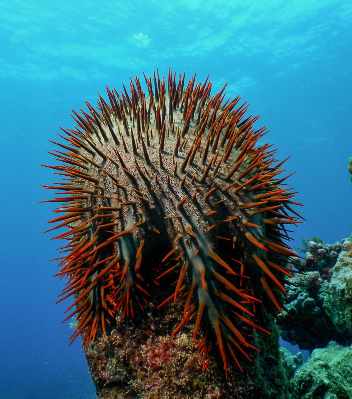 Reef response team calls on community as predator population spikes