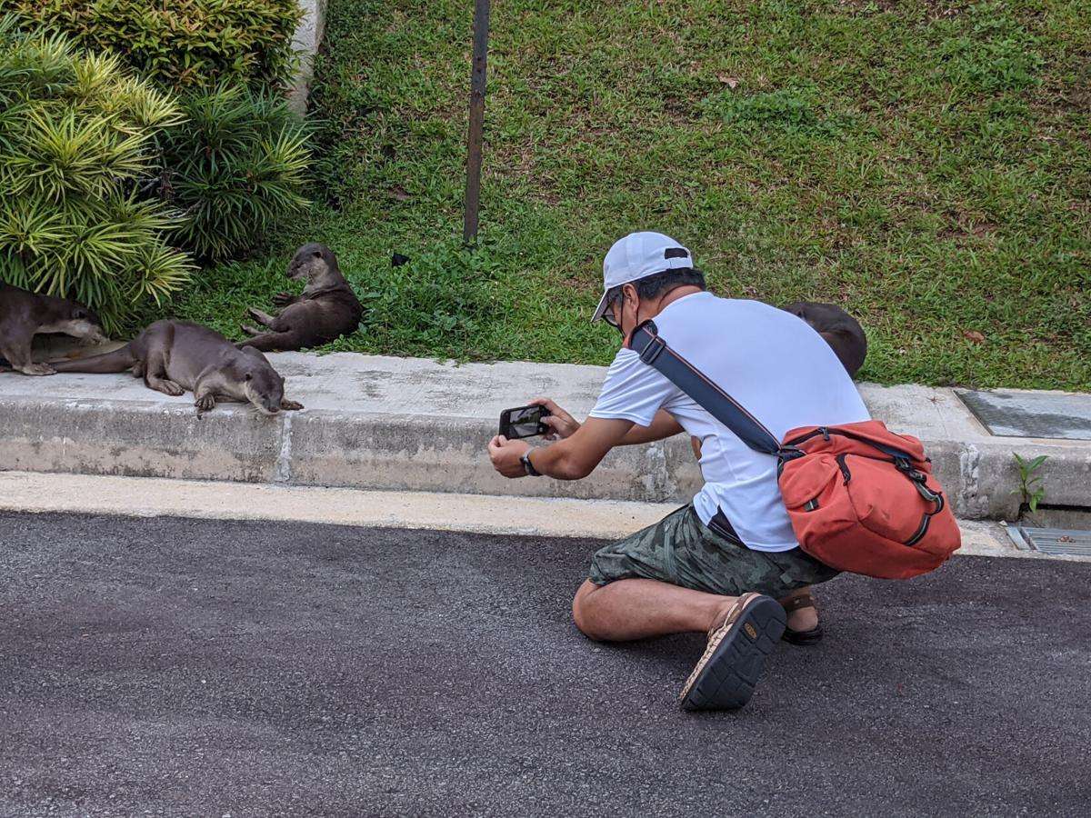 For the otters of Singapore, life is once again going