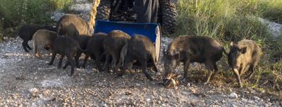 Feral pigs wreaking havoc, says Santa Rita mayor