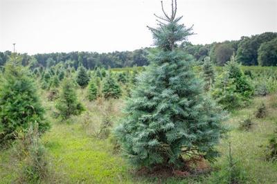 Photo_Virginia Christmas Trees_12_04_2019.jpg