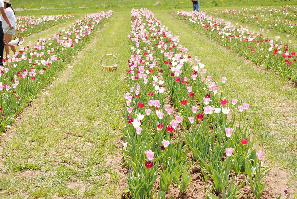 Burnside Farm tulip field