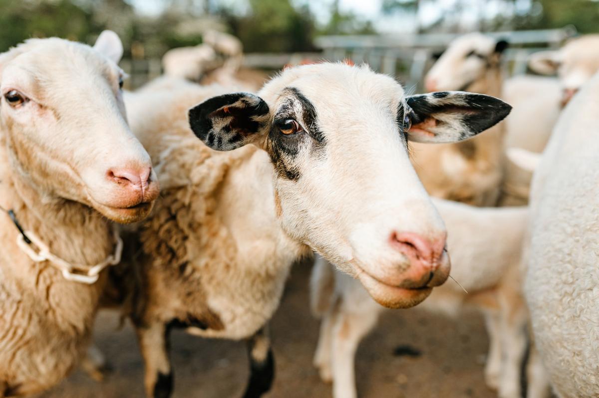 photo_ft_news_sheep at Hudson farm-1_20200411.jpg