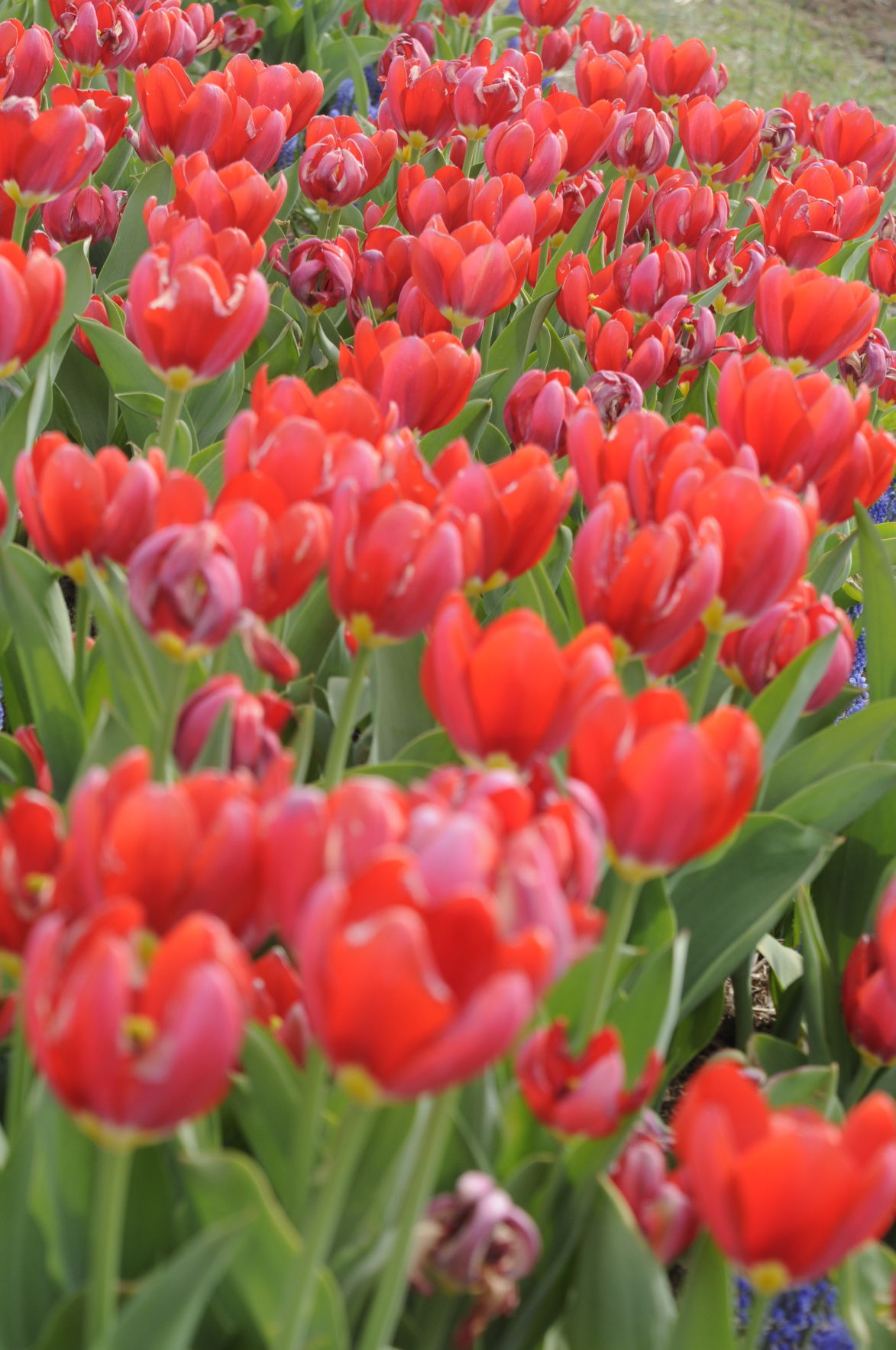 Tulips in bloom at Burnside Farms