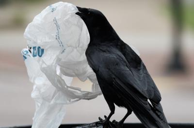 bird crow plastic bag Virginia Mercury
