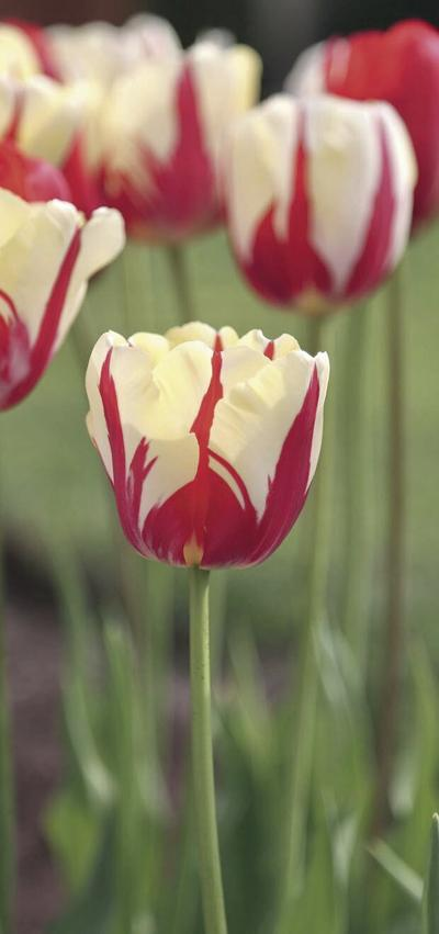 Myers: 10 high-impact tulips to delight your neighbors